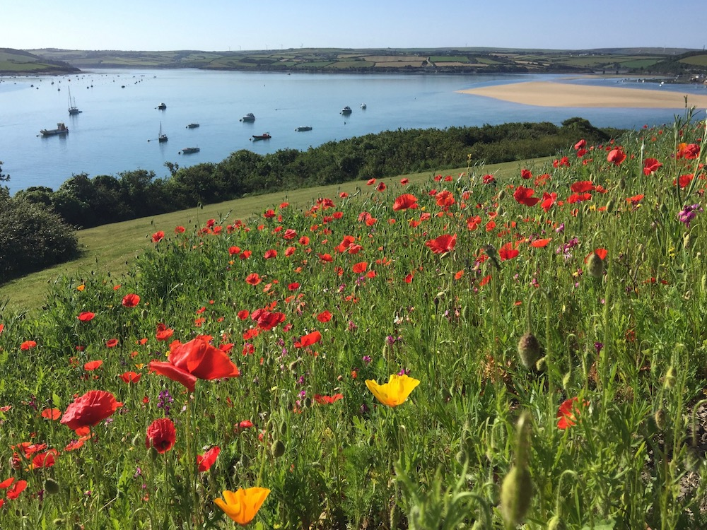 Poppy fields near the coastal holiday town of Padstow